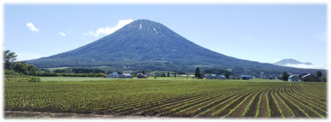 Potatoes grown at the foot of Mt. Yotei.